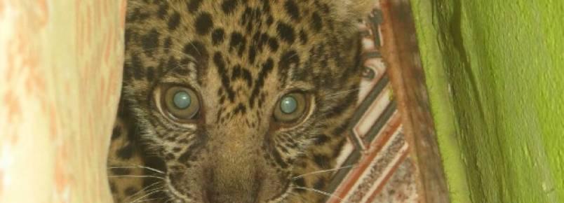 Filhote de onça é encontrado em Barcelos, no Amazonas