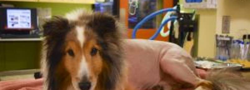 Cão paralisado estava prestes a ser sacrificado quando descobriram um carrapato em seu corpo