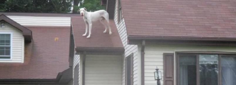 Dogue Alemão abre janela e sobe no telhado para conhecer a nova vizinhança
