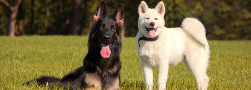 Como saber se um cão gosta de outro?