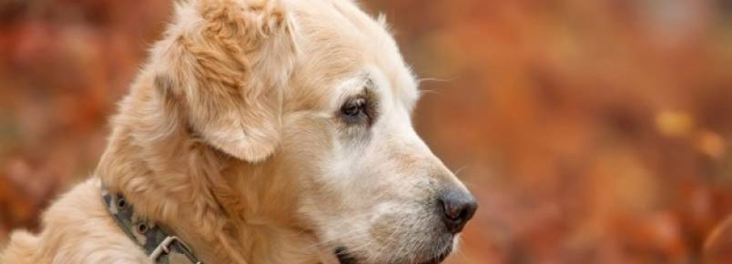 Cães também podem sofrer de Alzheimer