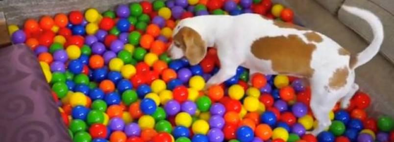 Beagle ganha o melhor e mais divertido presente de aniversário