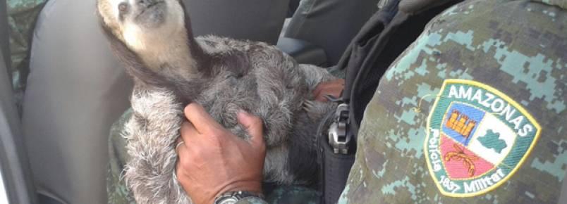 Batalhão Ambiental resgata bicho-preguiça em Manaus