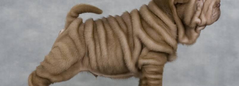Por que os cães shar-pei têm tantas rugas?