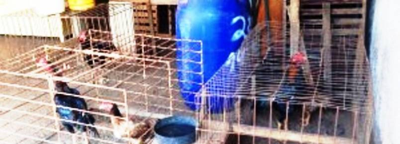 Criador de galos de briga é multado em R$ 26 mil por maltratar animais