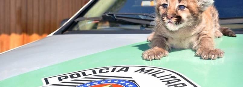 Polícia Militar Ambiental acolhe filhote de onça resgatado no interior de SP