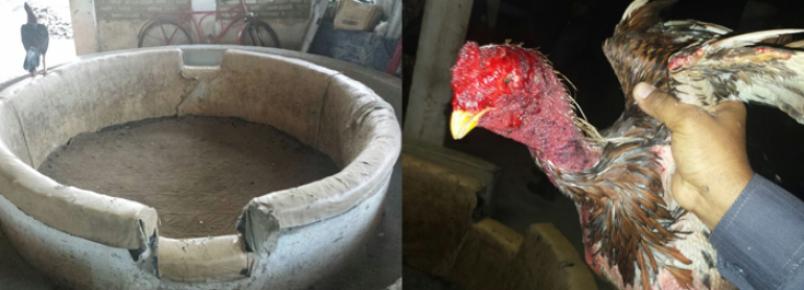 Nove pessoas são detidas em rinha de galo e polícia apreende animais maltratados