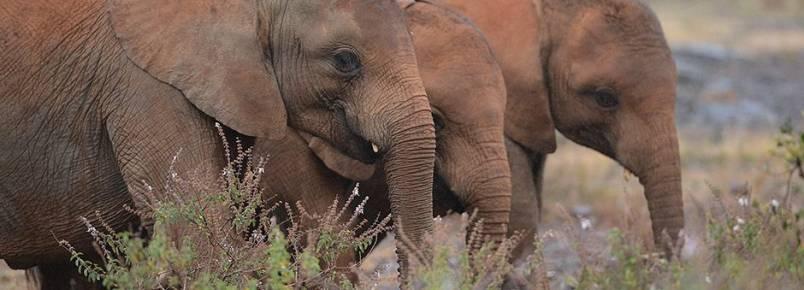 É descoberto motivo de elefantes raramente terem câncer