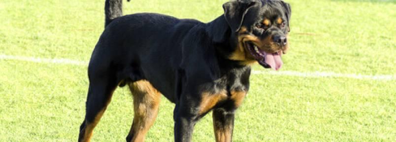 A raça determina a agressividade do cão?
