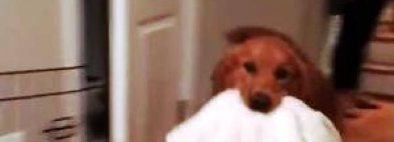 Cão carrega seu cobertor favorito para todo lugar que vai