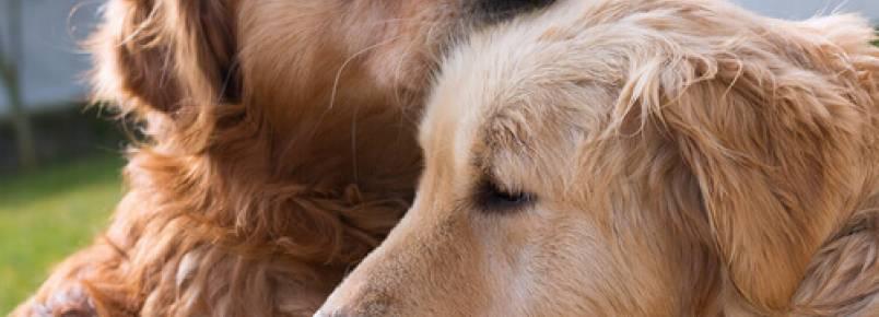 Cães podem se apaixonar?