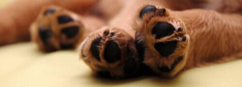Curiosidades sobre as patas dos cães
