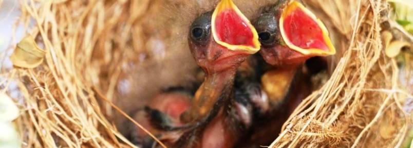 """Amor incondicional: vídeo mostra """"mamãe pássaro"""" cuidando de filhotes por um mês no ES"""