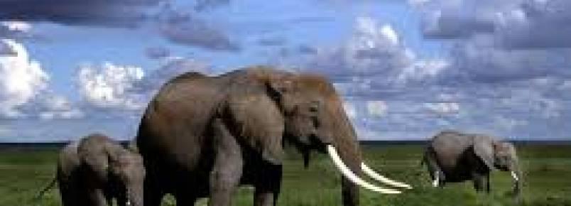Elefantes em risco caso não se tomem medidas em vários países