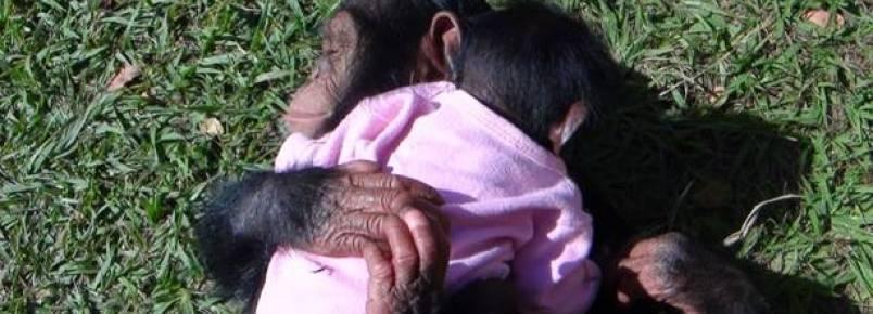Projeto luta pela preservação da vida de chimpanzés, gorilas e orangotangos