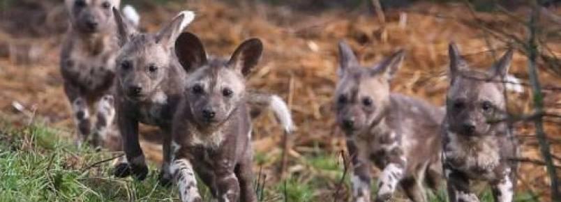 Filhotes raros de cão-selvagem-africano fazem primeira aparição em reserva