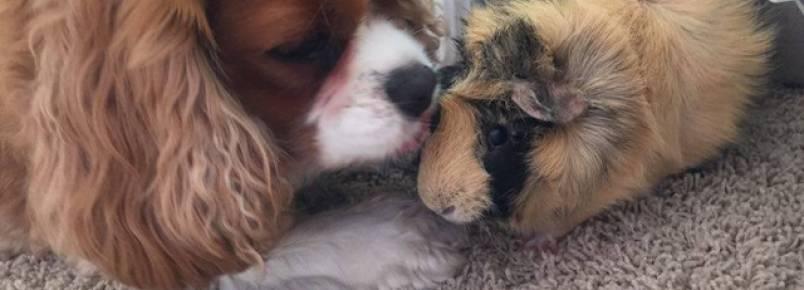 Cão consola porquinho-da-índia que estava triste com a morte do irm