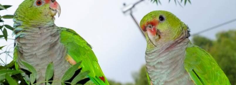 ICMbio de Palmas incentiva entrega voluntária de papagaios-de-peito-roxo
