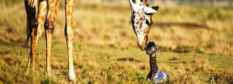 Veja o momento único em que girafa dá à luz em reserva animal no Quênia