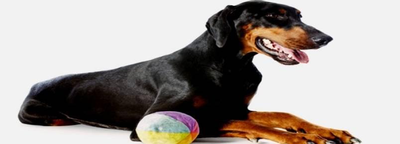 Conheça os principais cães de trabalho
