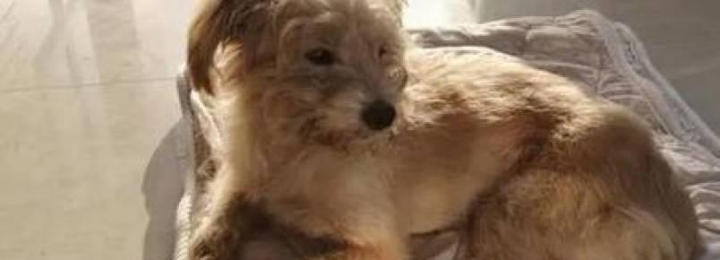Cachorro percorre 60 km para voltar para casa após ser esquecido por donos