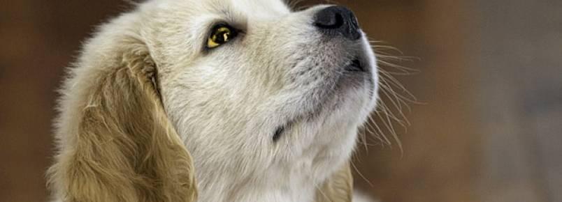 Cachorro com Olho Amarelo: O que pode ser?