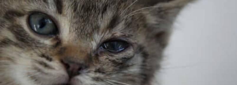 Blefarite em gatos: sintomas e tratamento
