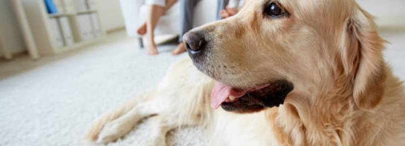 Teoria do apego: nossos cães nos veem como seus pais?