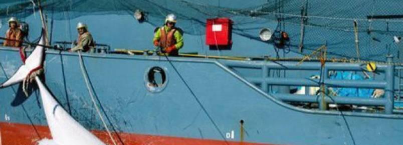 Japão confirma fim de pesca de baleias na Antártica
