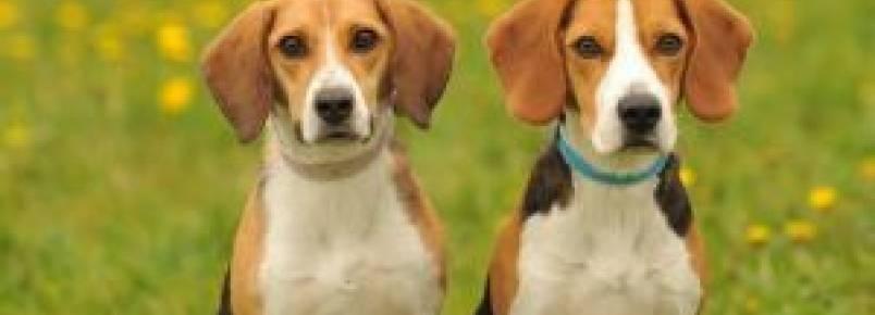 Pesquisadores afirmam que as fêmeas caninas são mais sociáveis do que os machos