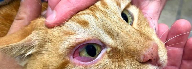 Uveíte felina: conheça a doença que afeta os olhos do gato