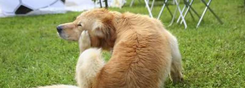 Micose canina: saiba o que é e como tratar