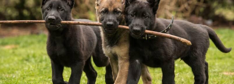 Oito raças de cachorros que são carinhosos