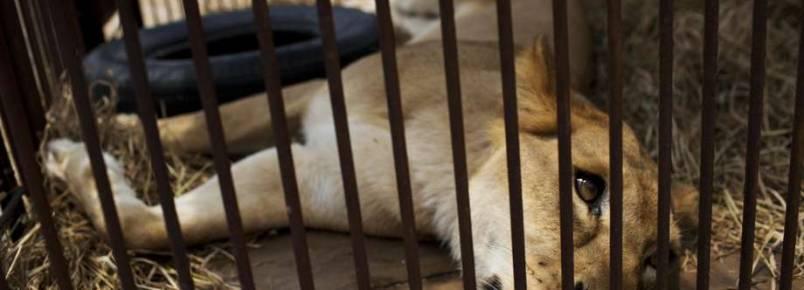 Mais de 20 leões de circos ambulantes são resgatados no Peru