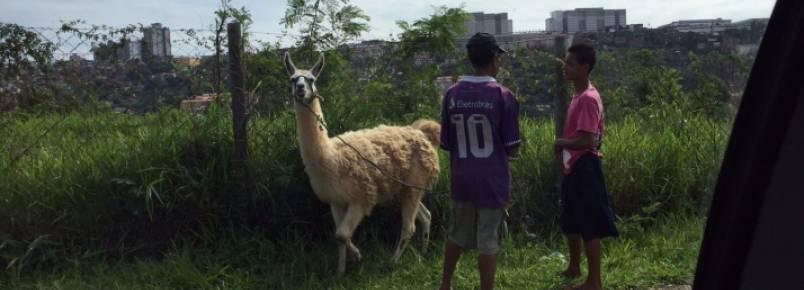 Lhama surpreende e intriga moradores da zona Oeste de BH