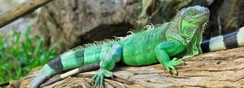 5 espécies de iguanas: venha conhecê-las!