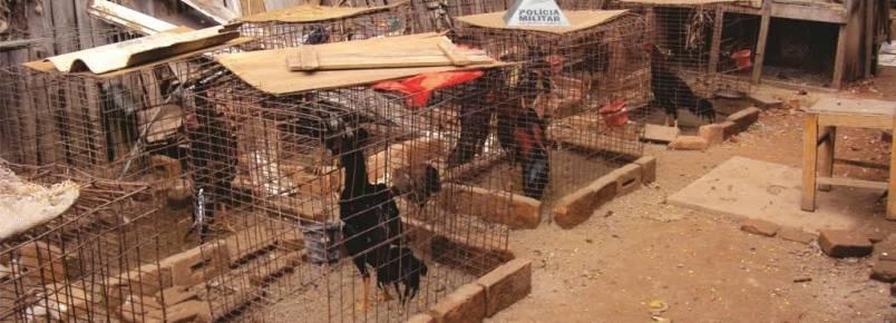 Homem é detido por manter galos, galinhas e pintinhos em condições precárias