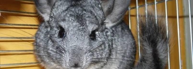 Projeto de Lei proíbe criação de animais para fazer pele, mas não evita chacina de chinchilas