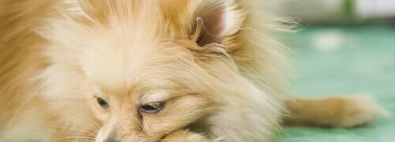 O que fazer se o meu cachorro vomita com frequência