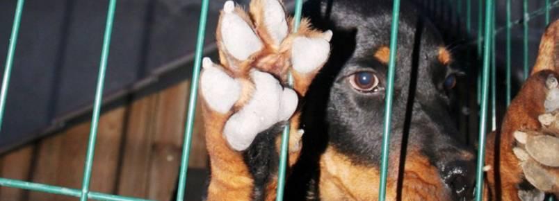 Estudo aponta que cães enlouquecem quando confinados