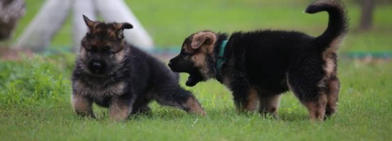 Convivência entre cães: como apresentar os filhotes