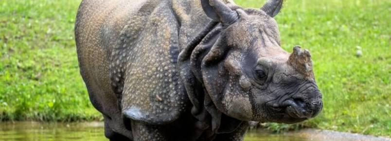 Rinoceronte-indiano: habitat e características