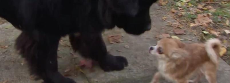 Pequena chihuahua salva a vida de seu grande irmão canino