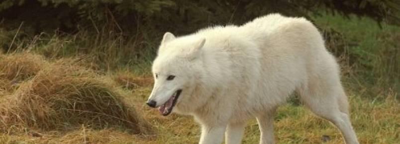 Seis raças de lobos