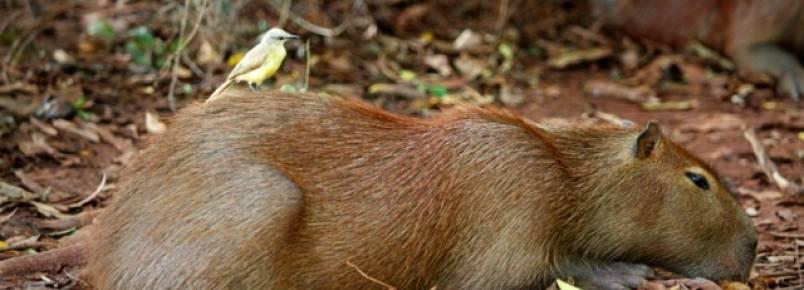 Faltam ações para convívio entre animais e população em Corumbá