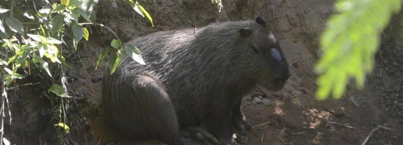 Ação tenta identificar capivaras nas margens do rio Sorocaba