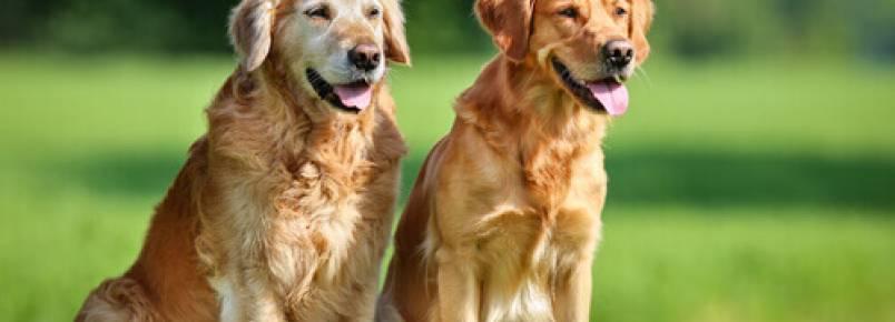 O ciclo reprodutivo das cadelas: o que você precisa saber?