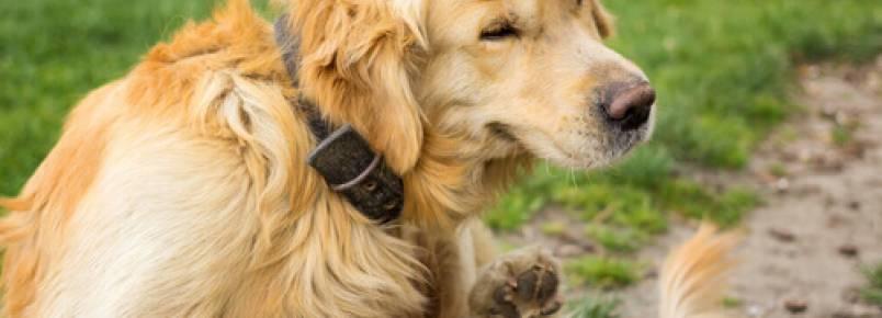 O que devo fazer se meu cão tem urticária?
