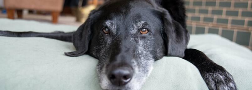 Como detectar o envelhecimento cerebral canino?