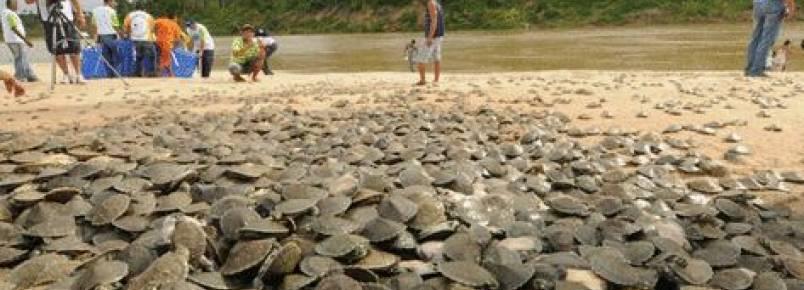 Tartaruga-da-amazônia continua sob forte ameaça de extinção segundo pesquisador do Inpa